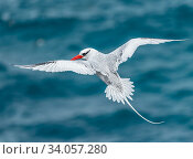 Купить «Red-billed tropicbird (Phaethon aethereus) in flight, Plazas Island, Galapagos.», фото № 34057280, снято 13 июля 2020 г. (c) Nature Picture Library / Фотобанк Лори