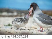 Купить «Swallow-tailed gull (Creagrus furcatus) feeding chick, Genovesa Island, Galapagos.», фото № 34057284, снято 12 июля 2020 г. (c) Nature Picture Library / Фотобанк Лори