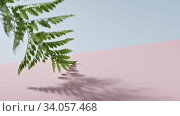 The branch of an green fern plant swings slowly on a duotone pink blue background and leaves the frame. Smooth slow movement of a branch. Full HD video, 240fps,1080p. Стоковое видео, видеограф Ярослав Данильченко / Фотобанк Лори