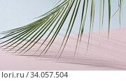 Купить «Smooth slow movement of a branch of an green tropical palm tree with long leaves touching a duotone pink blue background. Shadows from branch. Full HD video, 240fps, 1080p.», видеоролик № 34057504, снято 4 июля 2020 г. (c) Ярослав Данильченко / Фотобанк Лори