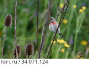 Common linnet (Linaria cannabina) with teasel, Vosges, France. Стоковое фото, фотограф Fabrice  Cahez / Nature Picture Library / Фотобанк Лори