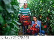 Latin american farm family gathering crop of tomatoes in hothouse. Стоковое фото, фотограф Яков Филимонов / Фотобанк Лори