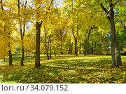 Купить «Пожелтевшие клены в осеннем парке», фото № 34079152, снято 12 октября 2018 г. (c) Елена Коромыслова / Фотобанк Лори