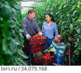 Купить «Farmers harvesting tomatoes in greenhouse, talking during break», фото № 34079168, снято 3 июля 2020 г. (c) Яков Филимонов / Фотобанк Лори