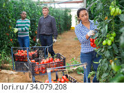 Latina harvesting red tomatoes in farm glasshouse. Стоковое фото, фотограф Яков Филимонов / Фотобанк Лори