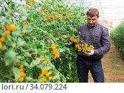 Grower checking crop of yellow cherry tomatoes in greenhouse. Стоковое фото, фотограф Яков Филимонов / Фотобанк Лори