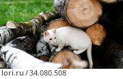 Outbred white cat climbs in birch logs. Редакционное видео, видеограф Дмитрий Бачтуб / Фотобанк Лори