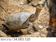 Fernandina giant tortoise (Chelonoidis fantasticus). Discovered on Fernandina Island in February 2019, where the species was believed extinct, this small... Стоковое фото, фотограф Tui De Roy / Nature Picture Library / Фотобанк Лори