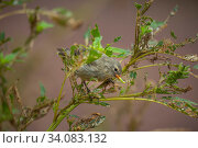 Купить «Small tree finch (Camarhynchus parvulus) feeding in photographer Tui De Roy's garden. Puerto Ayora, Santa Cruz Island, Galapagos.», фото № 34083132, снято 11 июля 2020 г. (c) Nature Picture Library / Фотобанк Лори