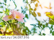 Купить «Beautiful summer scene with dog-rose flowers on blue sky background. Toned photo. Shallow depth of the field.», фото № 34097916, снято 7 июля 2020 г. (c) easy Fotostock / Фотобанк Лори