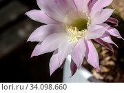 Купить «Succulent prickly, plant (Echinоpsis) with delicate flowers grows close-up», фото № 34098660, снято 8 июня 2020 г. (c) Татьяна Ляпи / Фотобанк Лори