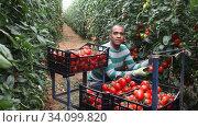 Купить «Experienced hispanic farmer working in glasshouse in spring, harvesting red tomatoes. Growing of industrial vegetable cultivars», видеоролик № 34099820, снято 9 июня 2020 г. (c) Яков Филимонов / Фотобанк Лори