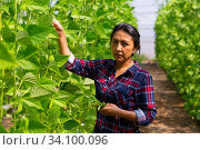 Latina harvesting ripe bean in farm glasshouse. Стоковое фото, фотограф Яков Филимонов / Фотобанк Лори