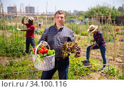 Купить «Mature man gardener holding basket with harvest of fresh vegetables», фото № 34100116, снято 7 июля 2020 г. (c) Яков Филимонов / Фотобанк Лори