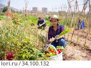 Successful latino farmer with basket of vegetables at the plantation. Стоковое фото, фотограф Яков Филимонов / Фотобанк Лори