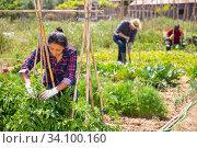 Peruvian woman gardener during working with tomatoes seedling. Стоковое фото, фотограф Яков Филимонов / Фотобанк Лори