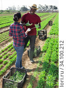 Two farmers talking between work - harvesting arugula. Стоковое фото, фотограф Яков Филимонов / Фотобанк Лори