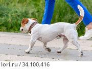 American Staffordshire Terrier walks next to the owner for a walk. Стоковое фото, фотограф Володина Ольга / Фотобанк Лори