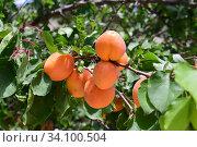 Плоды абрикоса (лат. Prúnus armeníaca) Стоковое фото, фотограф Игорь Архипов / Фотобанк Лори