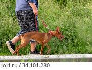 Купить «man leads the pharaoh hound on a leash», фото № 34101280, снято 22 июня 2020 г. (c) Володина Ольга / Фотобанк Лори