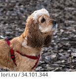 Young cocker spaniel walks on a leash. Стоковое фото, фотограф Володина Ольга / Фотобанк Лори