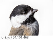 Portrait of a Black-capped chickadee, (Poecile atricapillus) with white background,  Block island, Rhode Island, USA. Bird caught during scientific research. Стоковое фото, фотограф Karine Aigner / Nature Picture Library / Фотобанк Лори