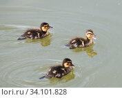 Купить «Три утенка плавают в пруду», фото № 34101828, снято 28 июня 2020 г. (c) E. O. / Фотобанк Лори