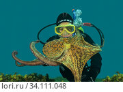 Diver and Octopus (Octopus vulgaris). Eastern Atlantic. Galicia. Spain. Europe. Редакционное фото, фотограф Marevision / age Fotostock / Фотобанк Лори