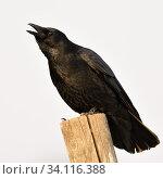 Купить «Carrion Crow / Rabenkraehe ( Corvus corone ) in winter, perched on a fence pole, calling, crawing loudly, wildlife, Europe.», фото № 34116388, снято 22 января 2019 г. (c) age Fotostock / Фотобанк Лори