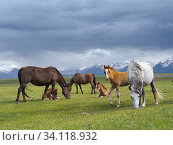 Купить «Horses on their summer pasture. Alaj Valley in front of the Trans-Alay mountain range in the Pamir mountains. Asia, central Asia, Kyrgyzstan.», фото № 34118932, снято 5 июля 2019 г. (c) age Fotostock / Фотобанк Лори