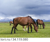 Купить «Horses on their summer pasture. Alaj Valley in front of the Trans-Alay mountain range in the Pamir mountains. Asia, central Asia, Kyrgyzstan.», фото № 34119080, снято 5 июля 2019 г. (c) age Fotostock / Фотобанк Лори