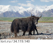 Купить «Domestic Yak ( Jak, Bos mutus ) on their summer pasture. Alaj Valley in front of the Trans-Alay mountain range in the Pamir mountains. Asia, central Asia, Kyrgyzstan.», фото № 34119140, снято 8 июля 2019 г. (c) age Fotostock / Фотобанк Лори