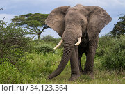 Купить «Elephant (Loxodonta africana) bull portrait in savanna habitat, Serengeti National Park, Tanzania», фото № 34123364, снято 30 июня 2020 г. (c) Nature Picture Library / Фотобанк Лори