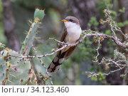 Купить «Yellow-billed cuckoo (Coccyzus americanus) perched on branch. Texas, USA. June.», фото № 34123460, снято 13 июля 2020 г. (c) Nature Picture Library / Фотобанк Лори