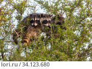 North American raccoon (Procyon lotor), three cubs peering out of tree. Texas, USA. July. Стоковое фото, фотограф Karine Aigner / Nature Picture Library / Фотобанк Лори
