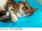 Portrait of a sleeping beautiful american shorthair cat. Стоковое фото, фотограф Акиньшин Владимир / Фотобанк Лори