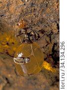 Купить «Honey pot ant (Myrmecocystus spp) ant storing liquid food for other members of the colony. Arizona, USA, August.», фото № 34134296, снято 10 июля 2020 г. (c) Nature Picture Library / Фотобанк Лори