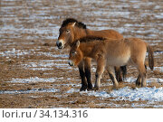 Przewalski's horse (Equus przewalskii) two standing together Kalamaili National Nature Reserve, Xinjiang, China. These individuals rounded up into... Стоковое фото, фотограф Staffan Widstrand / Wild Wonders of China / Nature Picture Library / Фотобанк Лори