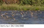 Купить «Double-crested cormorant (Phalacocorax carbo) Forsythe National Wildlife Refuge, New Jersey, USA, September.», фото № 34134948, снято 14 июля 2020 г. (c) Nature Picture Library / Фотобанк Лори