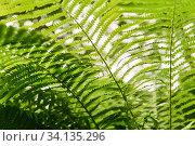 Купить «View of fern thickets in the forest undergrowth from the bottom up», фото № 34135296, снято 25 июня 2020 г. (c) Евгений Харитонов / Фотобанк Лори
