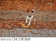 Jack Russel-Terrier, Ruede, im Laub. Стоковое фото, фотограф Zoonar.com/www.Ramona-Duenisch.de / easy Fotostock / Фотобанк Лори