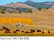Wild buffalo in Yellowstone National Park, USA. Стоковое фото, фотограф Zoonar.com/Galyna Andrushko / easy Fotostock / Фотобанк Лори