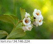 Flowering lingonberry branch. Стоковое фото, фотограф Argument / Фотобанк Лори