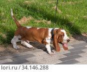 Купить «Basset Hound dog on a walk in the summer», фото № 34146288, снято 23 июня 2020 г. (c) Володина Ольга / Фотобанк Лори