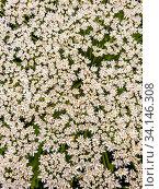 Купить «The Heracleum sosnowskyi - the umbrella weed plant», фото № 34146308, снято 30 июня 2020 г. (c) Володина Ольга / Фотобанк Лори
