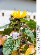 Sonnenblume mit entsprechender Dekoration als kleines Dankezeichen. Стоковое фото, фотограф Zoonar.com/Alfred Hofer / easy Fotostock / Фотобанк Лори