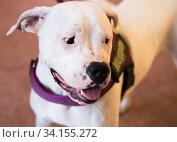 Portrait of thoroughbred American Pit Bull Terrier dog. Стоковое фото, фотограф Татьяна Яцевич / Фотобанк Лори