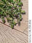 Fresh thyme herb on a stump. Thyme grass. Стоковое фото, фотограф Ольга Козырина / Фотобанк Лори