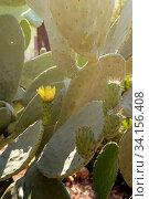 Fruits edible cactus - prickly pear (Opuntia) close-up. Стоковое фото, фотограф Татьяна Ляпи / Фотобанк Лори