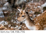 Spotted deer (Axis axis) in the forest. Стоковое фото, фотограф Татьяна Ляпи / Фотобанк Лори